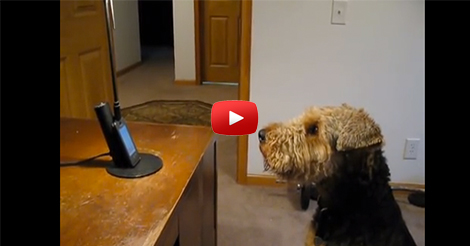 Singing-Airedale-Talks-on-the-Phone