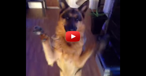 Dancing-German-Shepherd