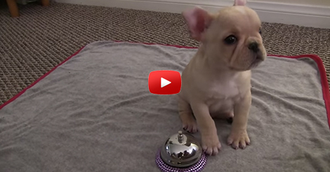 French-Bulldog-Puppy-Tricks