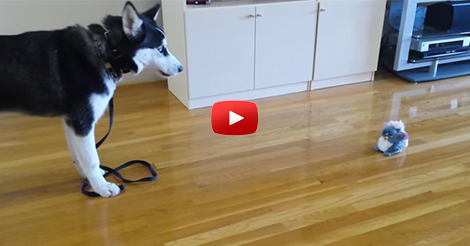 Funny-Siberian-Husky-Puppy-Scared
