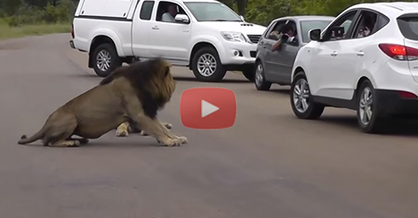 Lion Shows Tourists Why You Must Stay Inside Your Car – Latest Wildlife Sightings ...