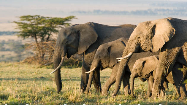 Alleged poacher trampled to death by herd of breeding elephants while escaping authorities