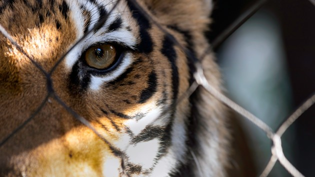 "Alarmed by ""Tiger King,"" senators propose ban on private ownership of big cats"