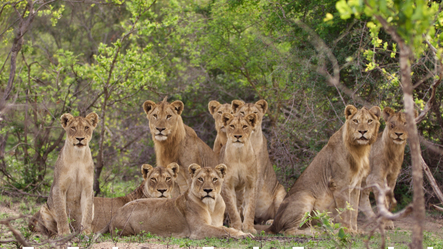 South Africa to end captive lion breeding, bone trade