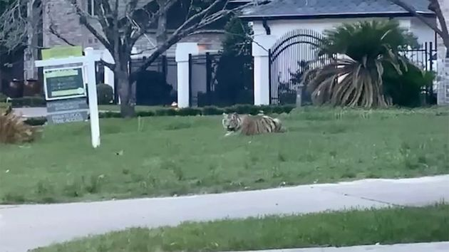 Tiger seen in Houston neighborhood found after week of searching, legal wrangling