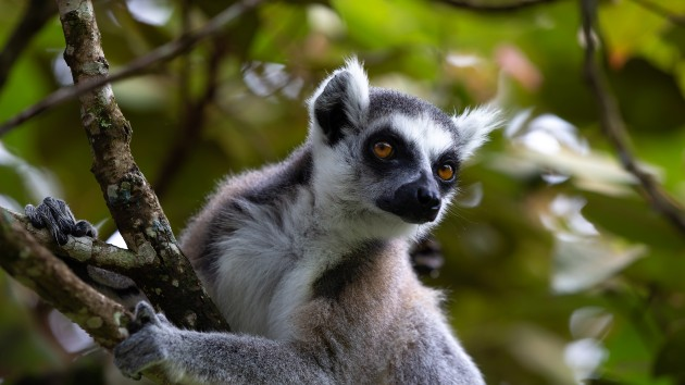 Man charged with violating Endangered Species Act after allegedly stealing lemur from San Francisco Zoo