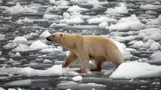 Polar bears are inbreeding due to melting sea ice, posing risk to survival of the species, scientists say