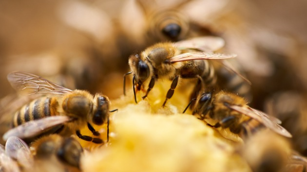 Monoculture farming is another way modern-day agriculture is killing bees, scientists say
