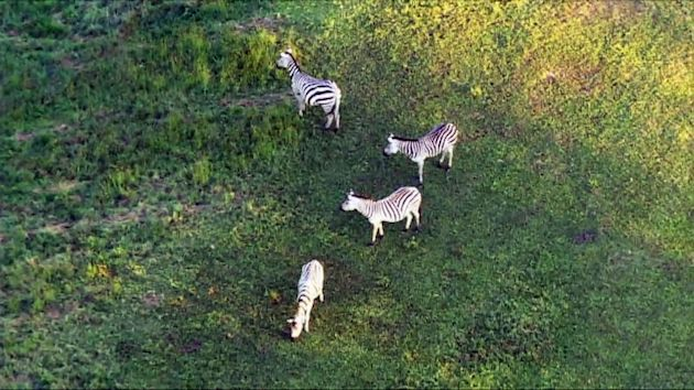 New twist in the tale of those escaped zebras: animal cruelty charges