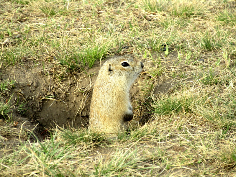 Eliminate gophers