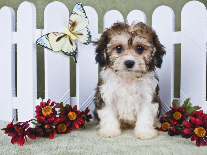 What to look for when buying a puppy