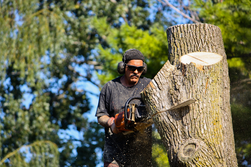 Ash tree protection
