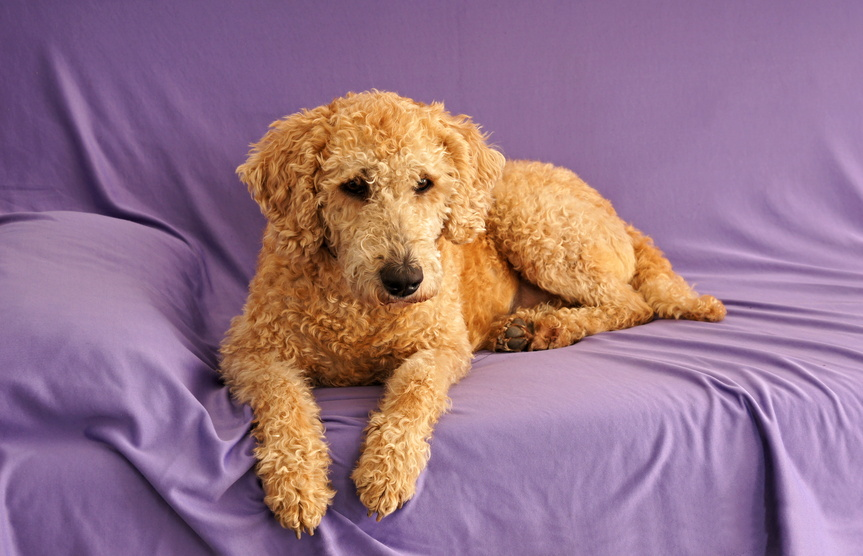 Labradoodle puppies for sale in georgia