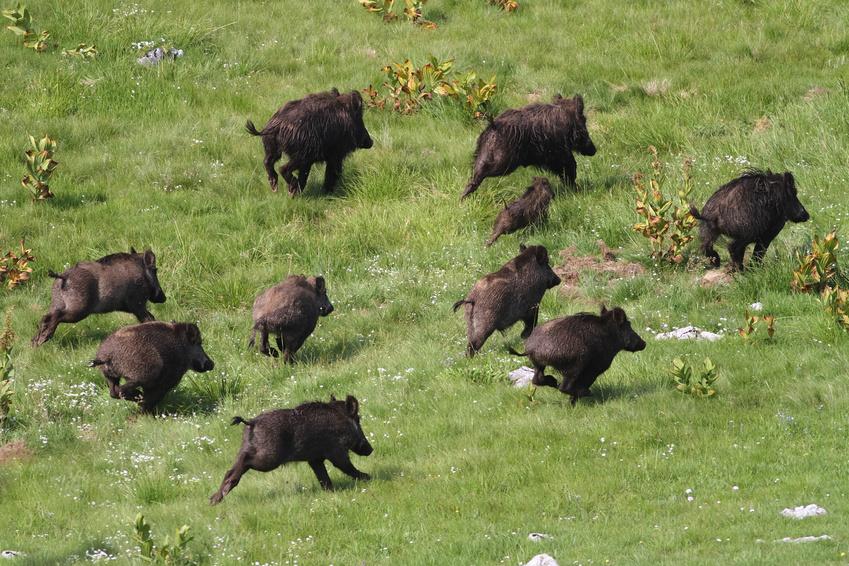 Hog hunting trips