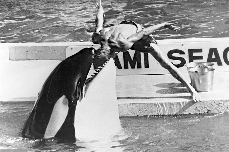 Watch What Happens When You Free a Killer Whale  TakePart