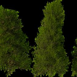 أشجار صنوبر 3دي
