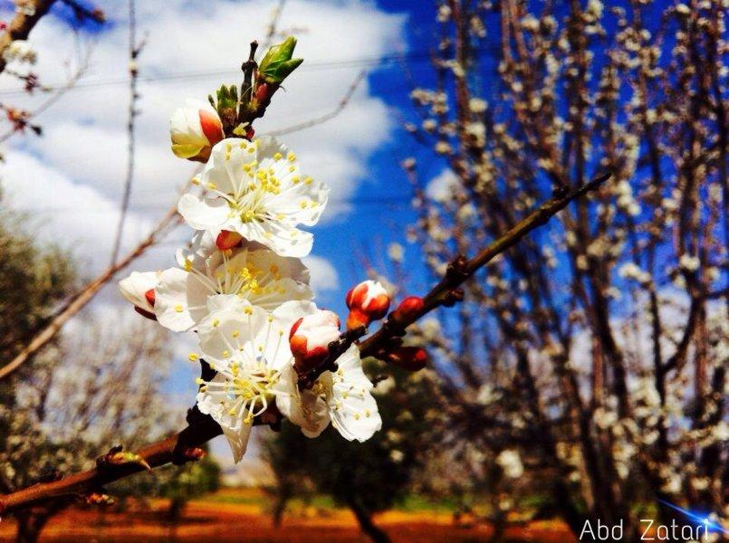 زهرة المشمش