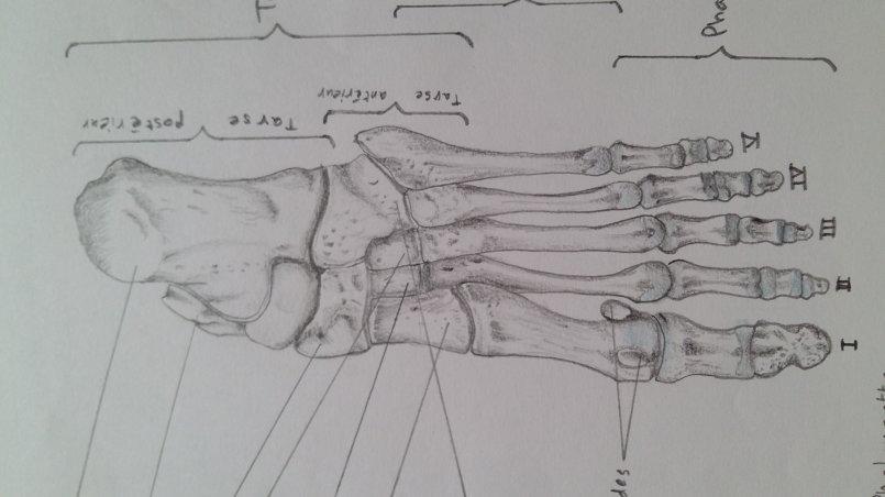 رسوماتي في anatomy