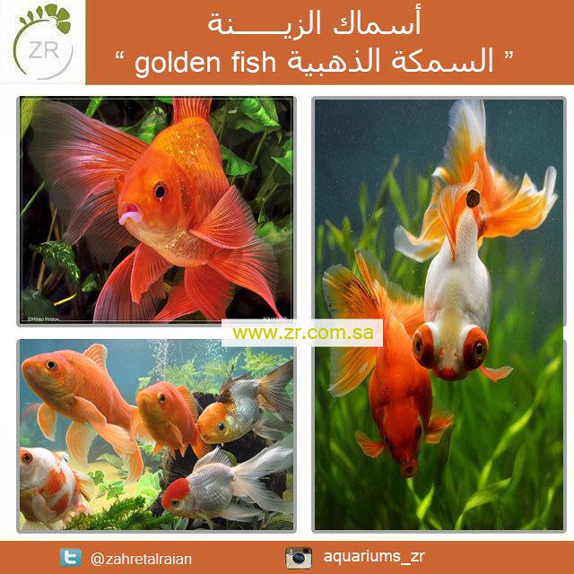 برشور إعلانى للمنتج السمكة الذهبية