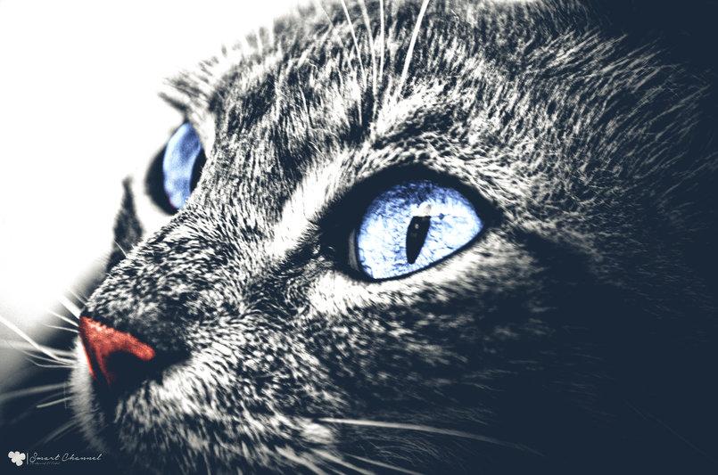 القط الشاوني