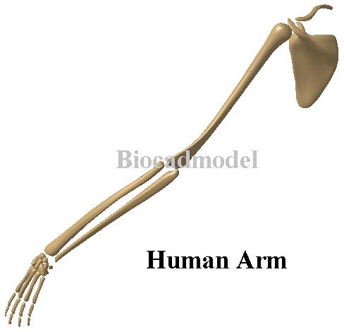 3D CAD Anatomy