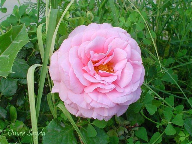 وردة ربيعية