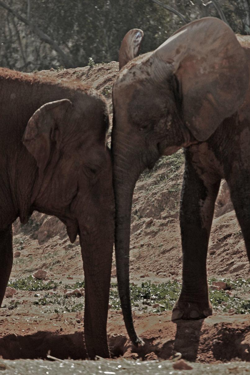 علاقة حب قوية بين الفيلة