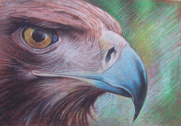 Hawk pastel oil on paper