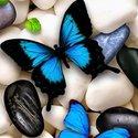 Butterflies الهنائي