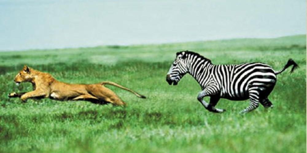 Zebra Chasing Lion
