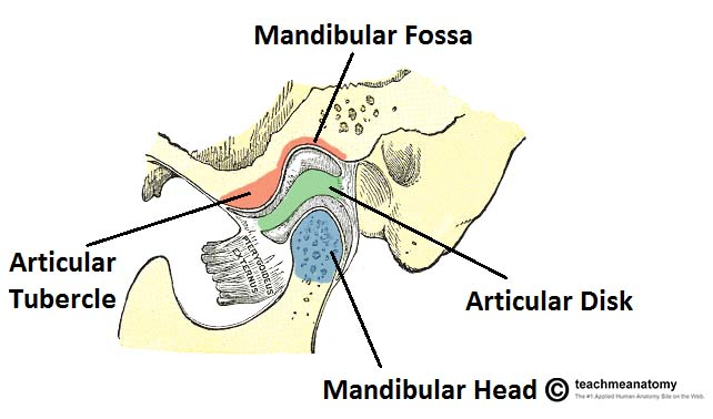 The Temporomandibular Joint Structure Function Teachmeanatomy