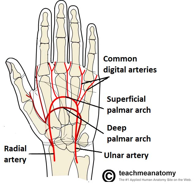Fig 1.4 - Arterial supply to the hand, via the superficial and deep palmar arches