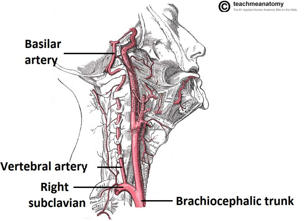 Major Arteries Of The Head And Neck Carotid Teachmeanatomy