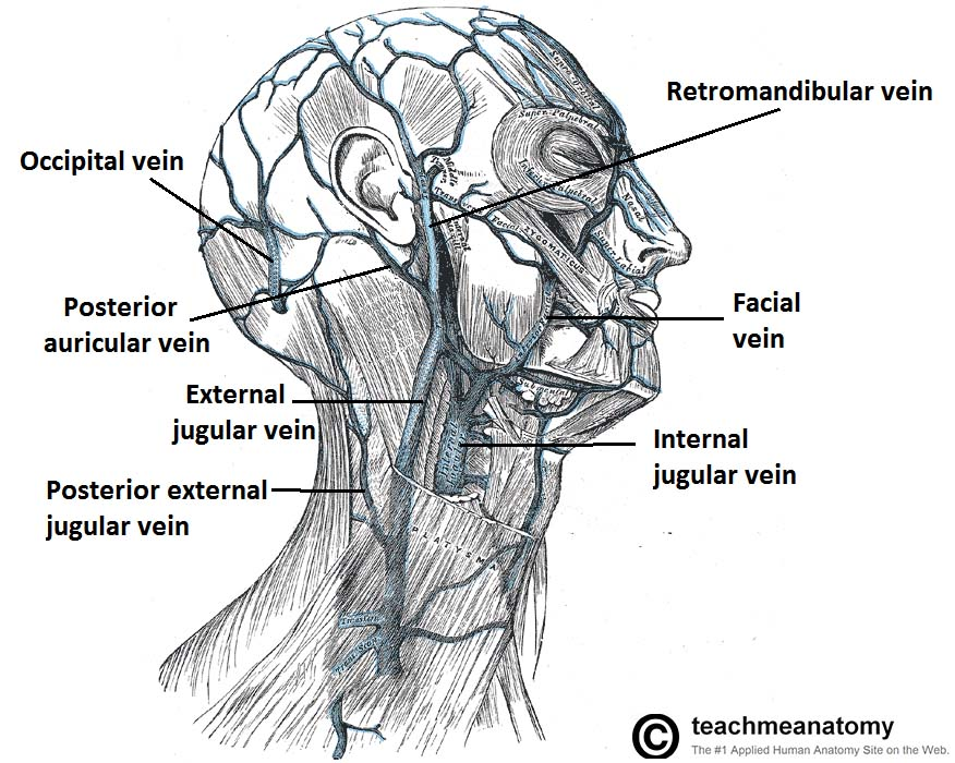Venous Drainage Of The Head And Neck Dural Sinuses Teachmeanatomy