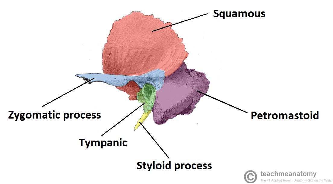 The Temporal Bone Parts Fractures Teachmeanatomy