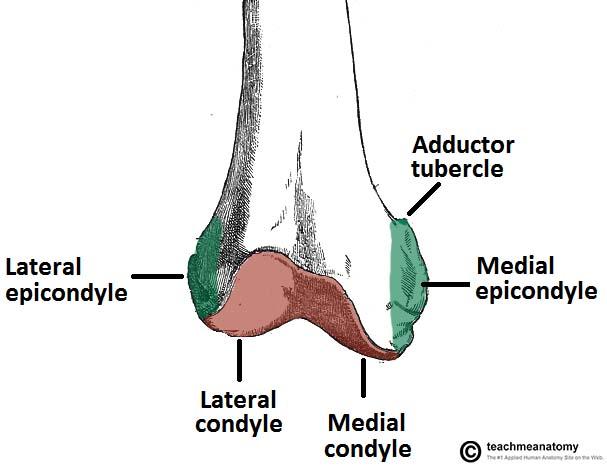 The Femur Proximal Distal Shaft Teachmeanatomy