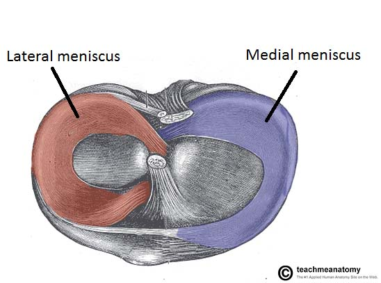 Fig 1.3 - The menisci of the knee joint. Superior surface of the tibia