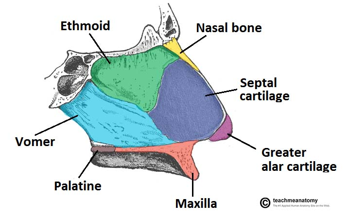 The Nasal Skeleton - Bones - Cartilage - Fractures - TeachMeAnatomy
