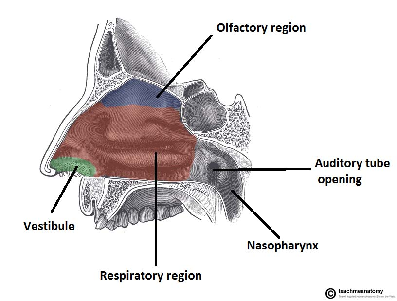 The Nasal Cavity - Structure - Vasculature - Innervation ...
