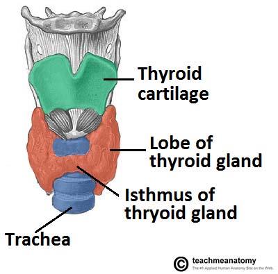 The Thyroid Gland - Location - Blood Supply - TeachMeAnatomy