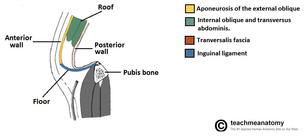 The Inguinal Canal Boundaries Contents Teachmeanatomy