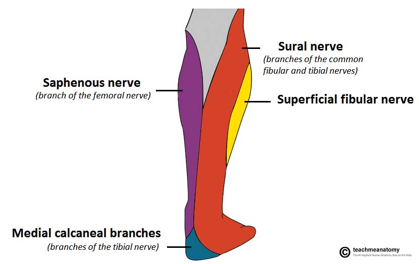 Fig 1.1 - Cutaneous innervation to the posterior leg. Tibial nerve contributes via the sural nerve and calcaneal branches