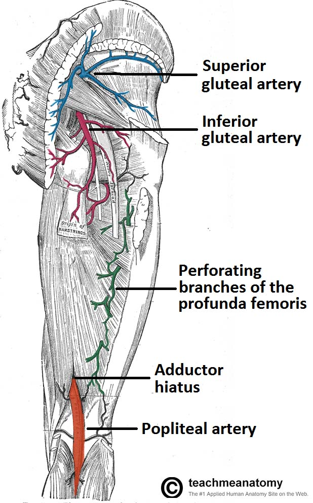 Fig 1.1 - Arterial supply to the posterior thigh and gluteal region.