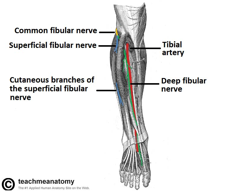 The Common Fibular Nerve Course Motor Sensory Teachmeanatomy