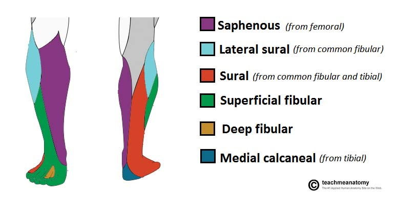 The Deep Fibular Nerve Course Motor Sensory Teachmeanatomy