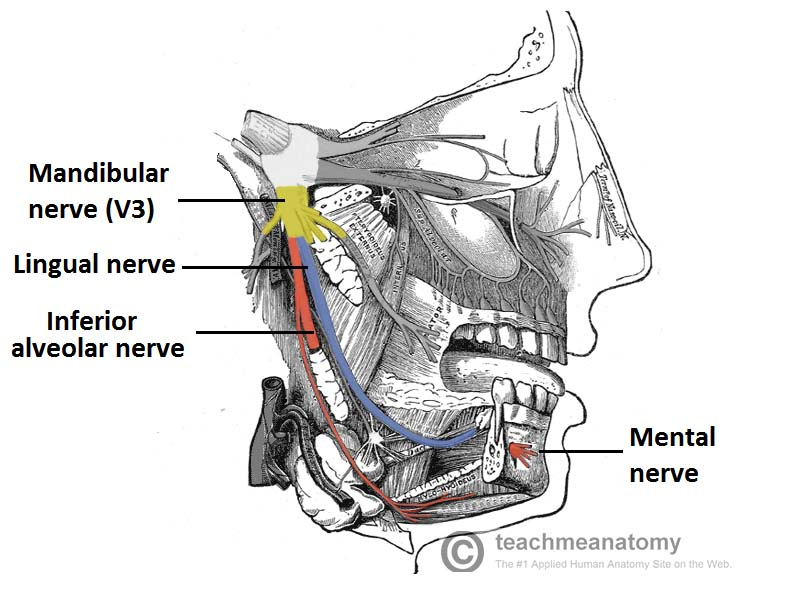The Mandibular Division Of The Trigeminal Nerve Cnv3 Teachmeanatomy