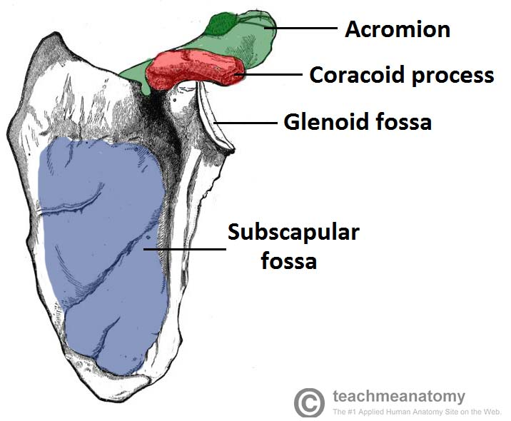 The Scapula Surfaces Fractures Winging Teachmeanatomy