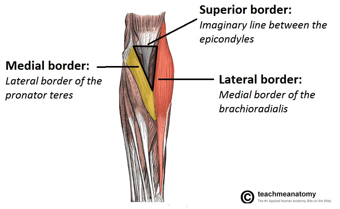 The Cubital Fossa Borders Contents Teachmeanatomy