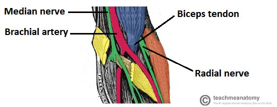 Fig 2 - Medial to lateral, the contents of the cubital fossa