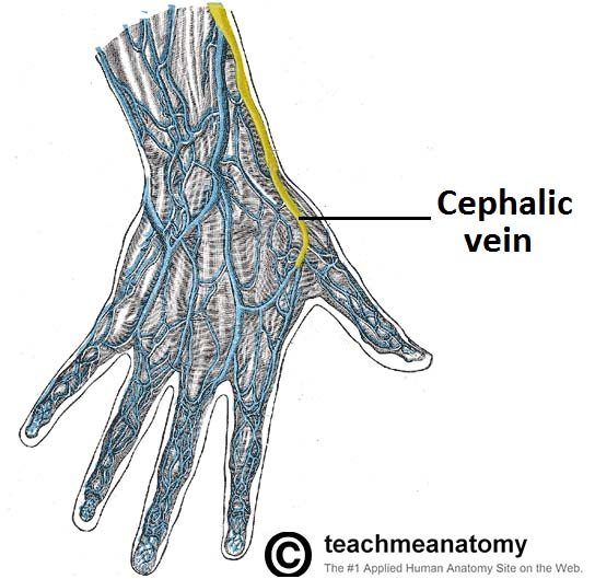 Fig 3 - Veins of the dorsum of the hand. Cephalic vein highlighted.